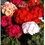 Пеларгония садовая Бордюр | Pelargonium hortorum Border (Фасовка - Микс - 10 семян)