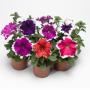 Петуния грандифлора Тритуния F1 | Petunia grandiflora Tritunia F1 Syngenta Flowers 20 шт (Фасовка - Фрост (ободок) - микс 20 драже)