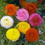 Ранункулюс азиатский Мэджик F1 | Ranunculus asiaticus Magic F1 Syngenta (Фасовка - Смесь - 50 драже)