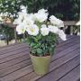 Эустома Сапфир F1 | Eustoma grandiflora Sappfire F1 PanAmerican (Фасовка - Белый - 100 драже)