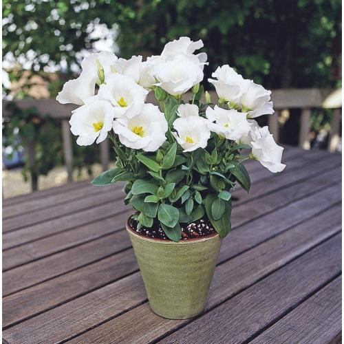 Эустома Сапфир F1 | Eustoma grandiflora Sappfire F1