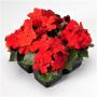 Бальзамин Баланс F1 | Impatiens walleriana Balance F1 HEM GENETICS (Фасовка - Красный (Red) - 100 семян)