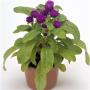 Гомфрена низкорослая Будди | Gomphrena globosa Buddy Benary (Фасовка - Пурпурный - 200 семян)