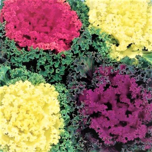Капуста декоративная Нагоя F1 | Brassica oleracea NAGOYA F1 Sakata