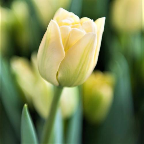 Тюльпан Avant Garde | Авангард