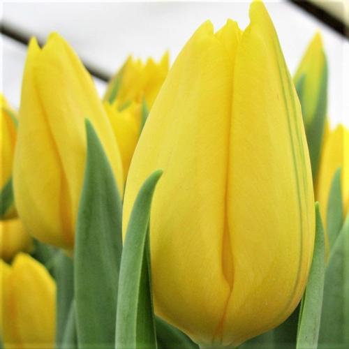 Тюльпан триумф Strong Gold | Стронг Голд