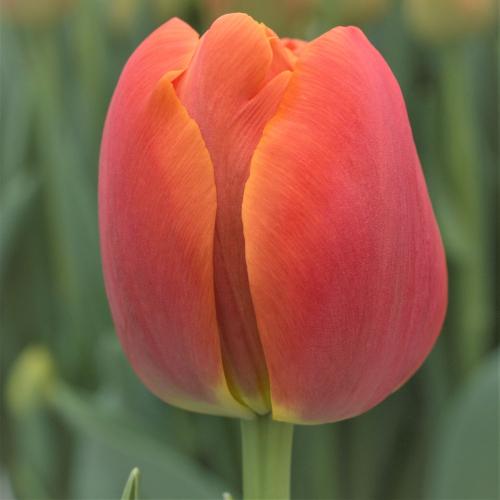 Тюльпан Icoon | Икон