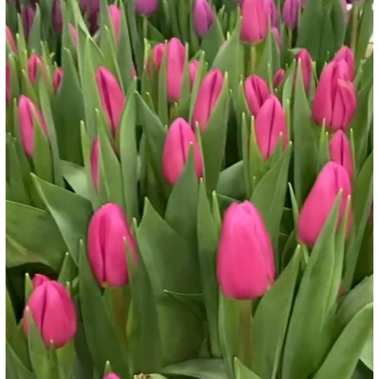 Тюльпан Pink Marlene | Пинк Марлен P.Aker