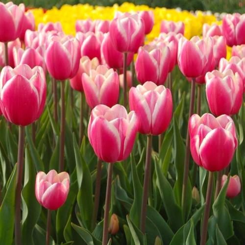 Тюльпан триумф Jumbo Beauty | Джамбо бьюти P.Aker