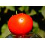 Томат Рихам F1 | Rixam F1 Clause (Фасовка - 1000 семян)