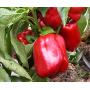 Перец КРАСНЫЙ РЫЦАРЬ F1 | RED KNIGHT F1Seminis (Фасовка - 500 семян)