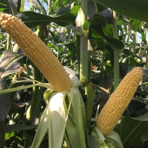 Кукуруза Сентинель F1 | Sentinel F1 Clause