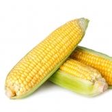 Кукуруза СПИРИТ F1 | SPIRIT F1 Syngenta