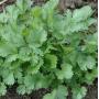 Кориандр салатный Слоуболт Професійне насіння 10 гр (Фасовка - 10 гр)