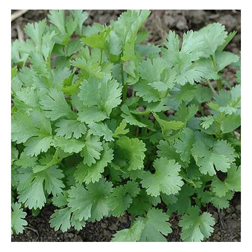 Кориандр салатный Слоуболт Професійне насіння 10 гр