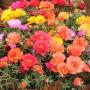 Портулак Portulaca grandiflora Happy Hour Mix Pan American (Фасовка - 1000 семян)
