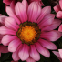 Газания New day Pan American (Фасовка - Pink Shades - 1000 шт)