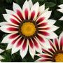 Газания New day Pan American (Фасовка - Rose Stripe - 1000 шт)