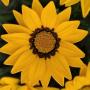 Газания New day Pan American (Фасовка - Yellow - 1000шт)