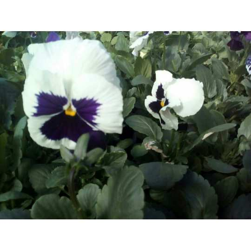 Фиалка Pansy F1 (Viola x wittrockiana) White Blotch Kitano 100 шт