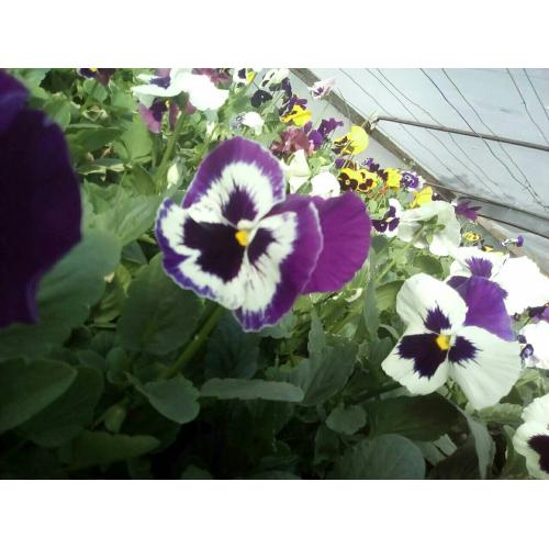 Фиалка Pansy F1 (Viola x wittrockiana) Purple Bicolour Kitano 100 шт