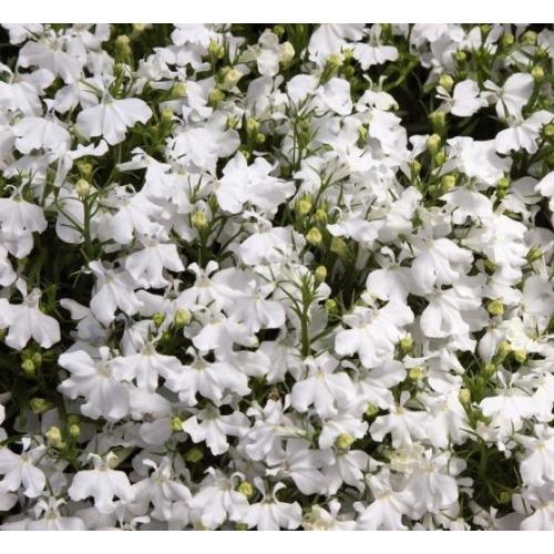 Лобелия Riviera White Pan American 1000 шт