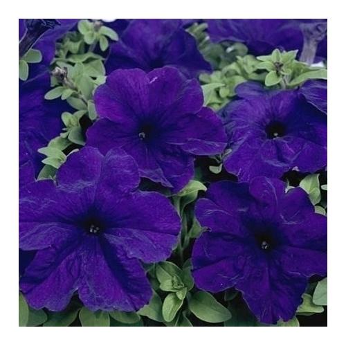 Петуния grandiflora Musica F1 Blue Volmary 500 шт