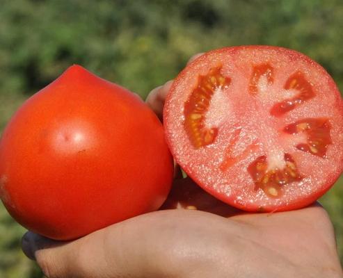 Каста F1 Clause - ранний томат с крупными плодами